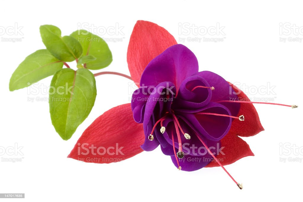 dark eyes fuchsia flower macro stock photo