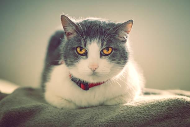Dark filtered image of a grey white cat laying on the bed adult in picture id1205031393?b=1&k=6&m=1205031393&s=612x612&w=0&h=zd7p070mdeimnijhj0ltrmu6ymwyzgsnsjazdr4scho=