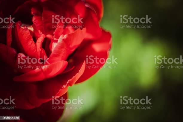 Sombre Fleur Tulipe - Fotografias de stock e mais imagens de Alergia
