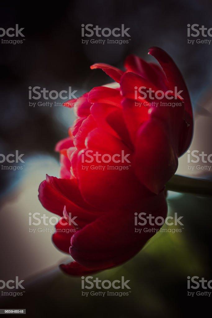 Темный цветок, тюльпан - Стоковые фото Аллергия роялти-фри