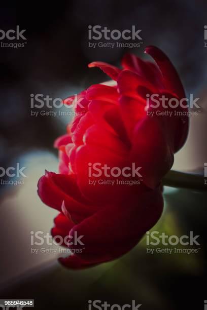 Темный Цветок Тюльпан — стоковые фотографии и другие картинки Аллергия