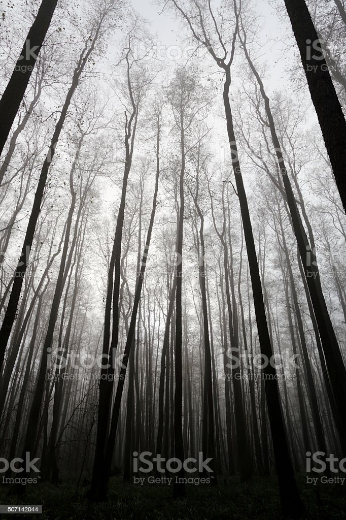 Dark Forest and Fog stock photo