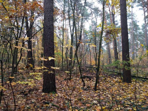Dark forest in autumn stock photo