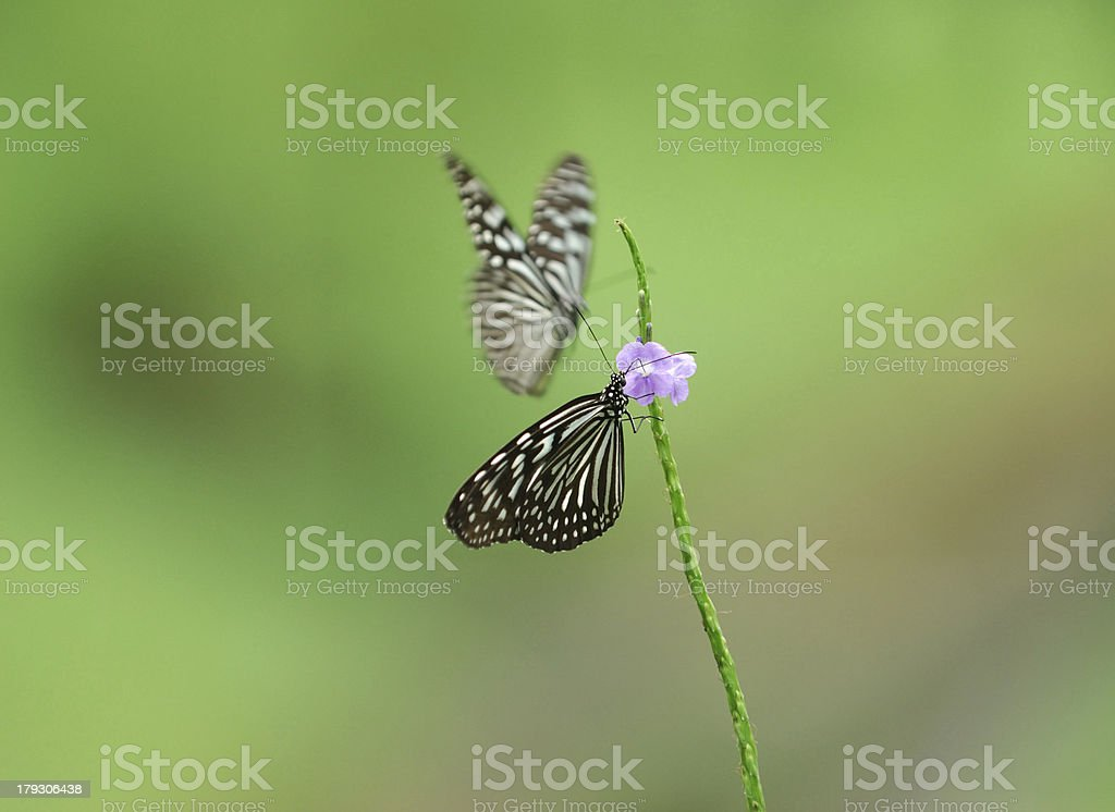 Dark Glassy Tiger Pair stock photo