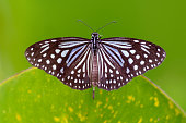 istock Dark Glassy Tiger - Parantica agleoides asian butterfly found in India that belongs to the crows and tigers, that is, the danaid group of the brush-footed butterflies family. 1221047787