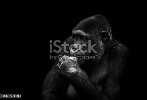 Gorilla in black and white infront of a black background