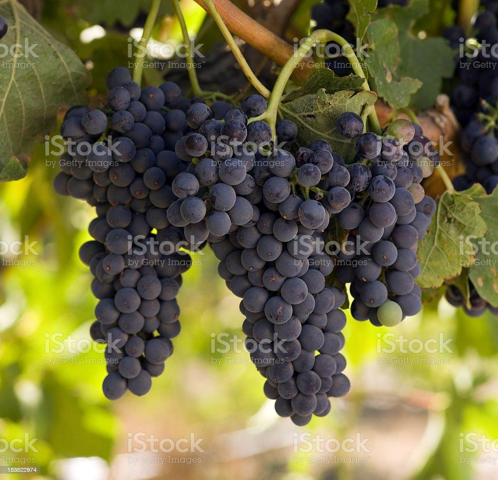 Dark Grapes Dreanched in Sunlight Ripe for Harvest Vintners Vineyard stock photo