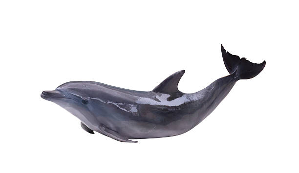 dark gray isolated dolphin grey doplhin isolated on white background dolphin stock pictures, royalty-free photos & images