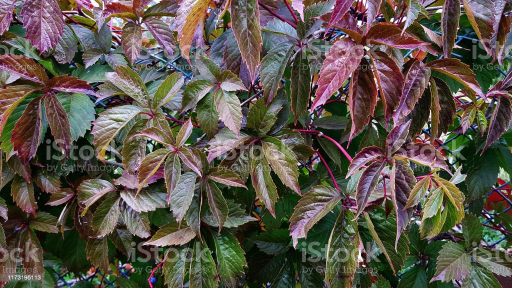Dark Green And Purple Leaves Of Wild Grapevine Colorful Autumn Foliage Textures Fall Season Background Rural Fence Near Farmhouse Colors Of Fall Season Autumn Foliage Backdrop Stock Photo Download Image Now