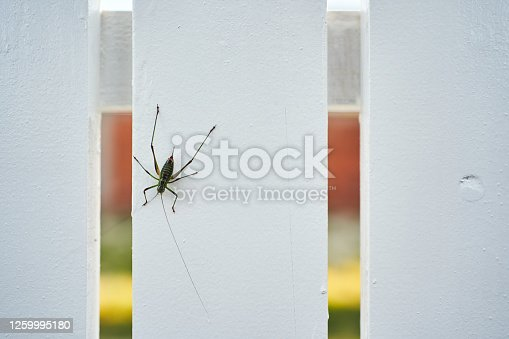 Black-green cricket on a white fence