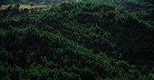 Dark green forest in summer