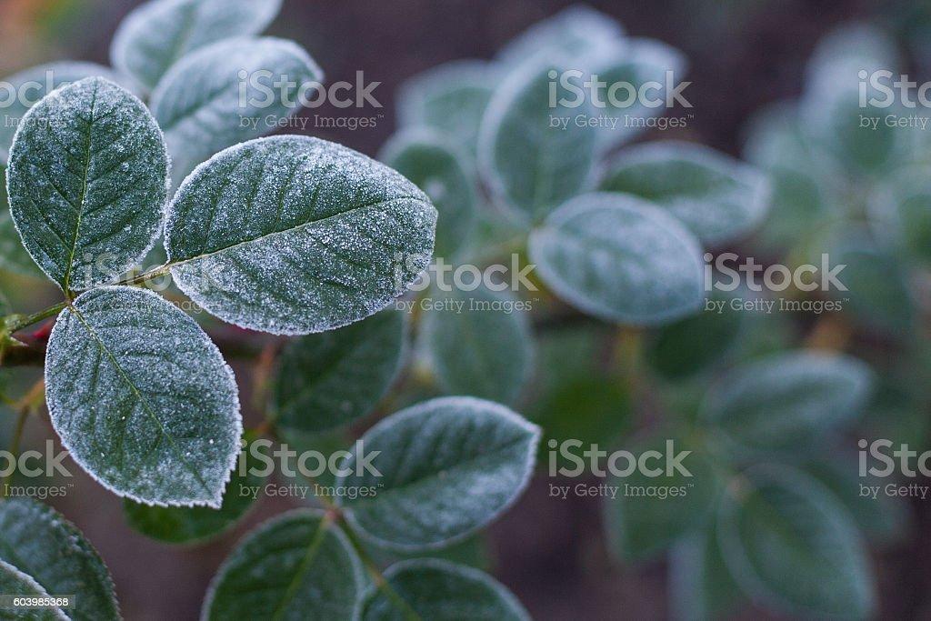 Dark green frozen rose bush leaves background stock photo