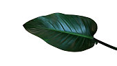 Dark green leaf of Philodendron red congo (Rojo Congo) the tropical foliage indoor houseplant isolated on white background, clipping path included.
