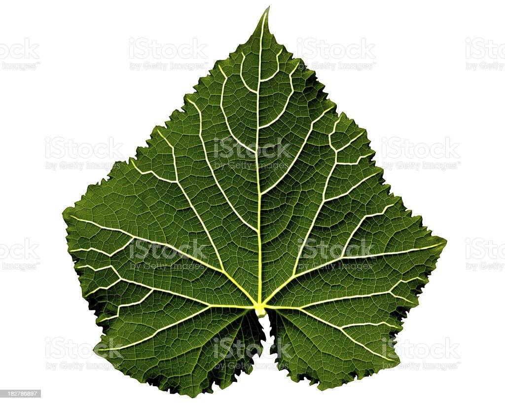 Dark green leaf with shone veins royalty-free stock photo