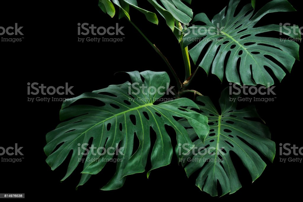 Dark green leaves of monstera or split-leaf philodendron (Monstera deliciosa) the tropical foliage plant growing in wild on black background, clipping path included. stock photo