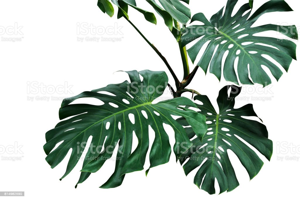 Dark green leaves of monstera or split-leaf philodendron (Monstera deliciosa) the tropical foliage plant growing in wild isolated on white background, clipping path included. stock photo