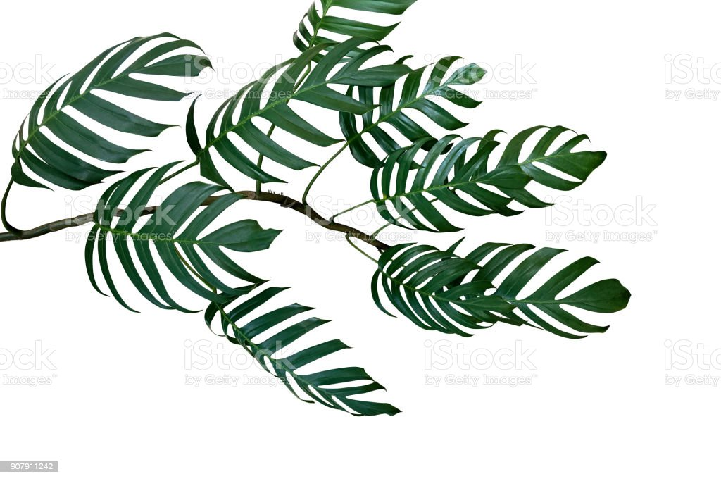 Dark green leaves of Monstera philodendron plant growing in wild, the tropical forest plant, evergreen vine isolated on white background, clipping path included. stock photo