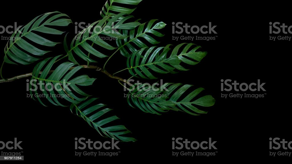 Dark green leaves of Monstera philodendron plant growing in wild, the tropical forest plant, evergreen vine isolated on black background, clipping path included. stock photo