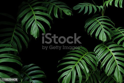 Dark green leaves of native Monstera the tropical forest plant evergreen vines, nature leaf frame on black background.