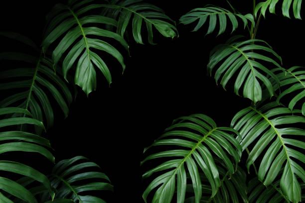 obscuridade-folhas verdes do monstera nativo as videiras evergreen da planta da floresta tropical, frame da folha da natureza no fundo preto. - monstera - fotografias e filmes do acervo
