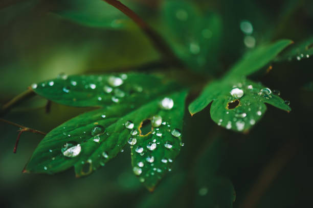 dark green leaves with dew drops close-up with copy space. rich greenery with raindrops in shadow in macro. natural background of green textured plants in rainy weather. vintage flora in rainy forest. - imperfection stock photos and pictures