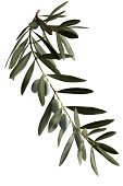 istock A dark green olive branch on a white background  166056297