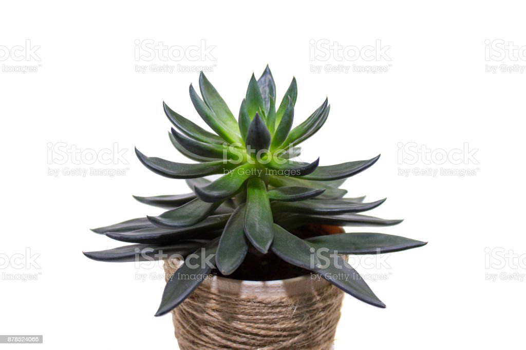 Dark green succulent in twine pot isolated on white background stock photo
