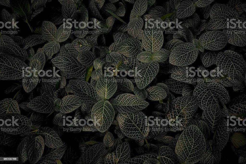 Dark Green Variegated leaves royalty-free stock photo