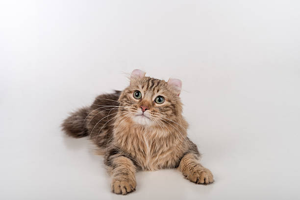 Dark Hair American Curl cat Lying on the white table stock photo