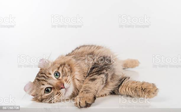Dark hair american curl cat lying on the white table picture id597265706?b=1&k=6&m=597265706&s=612x612&h=n9tn divobwcku 3mbr v9gbs6zugned32uwlnhknze=