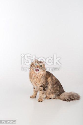 istock Dark Hair American Curl cat Sitting 597265502