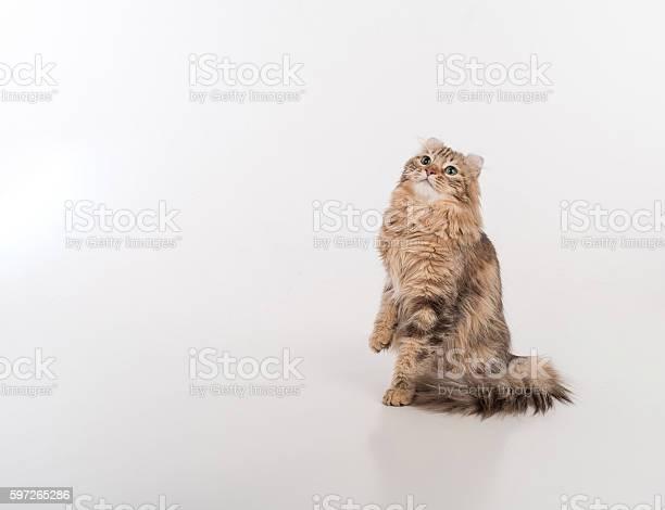 Dark hair american curl cat standing on the white table picture id597265286?b=1&k=6&m=597265286&s=612x612&h=q ivh8be xqmirb0zt7q hu8hn4cptxqa5xiaoahw6u=