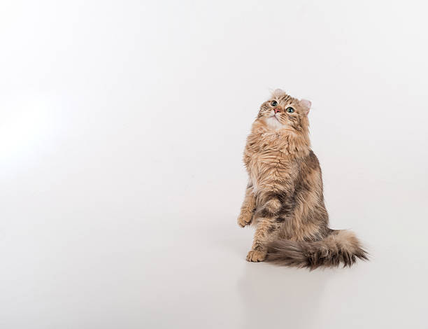 Dark Hair American Curl cat Standing on the white table stock photo
