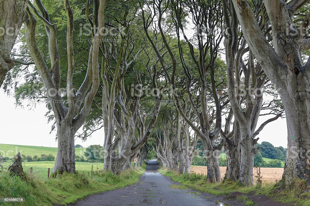Dark Hedges - Majestic tree alley. stock photo