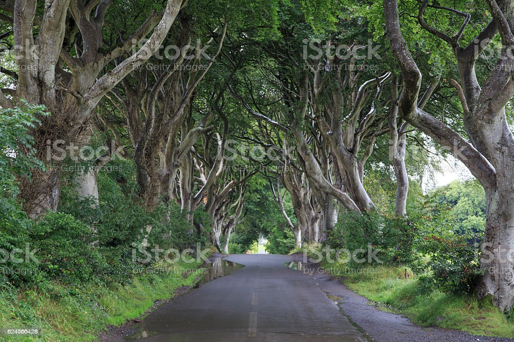 Dark Hedges - Majestic tree alley stock photo