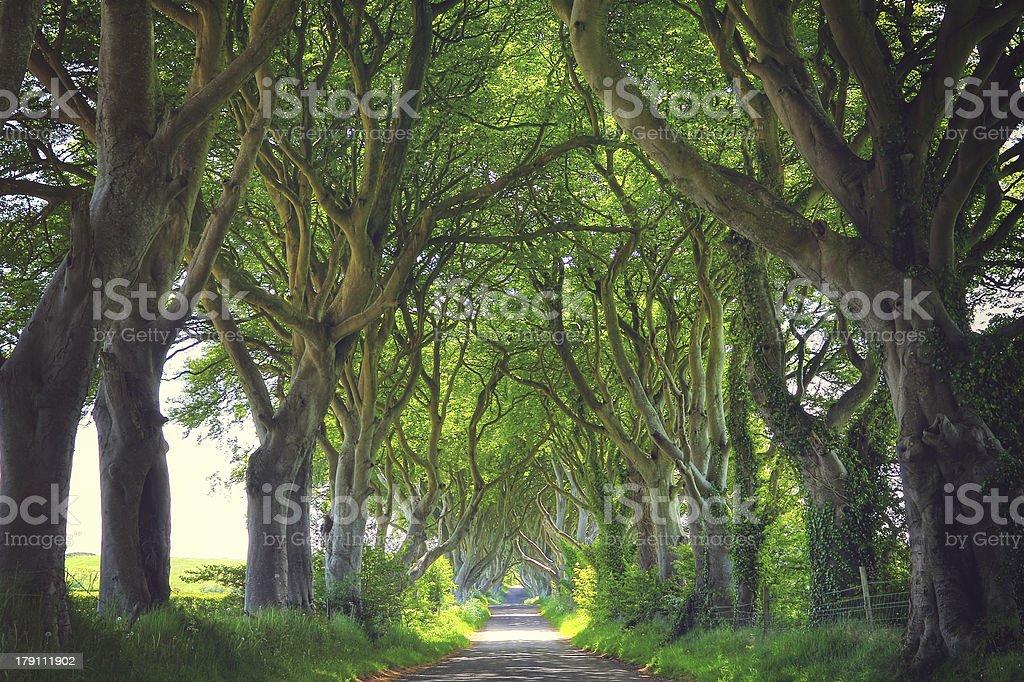 Dark Hedges trees royalty-free stock photo