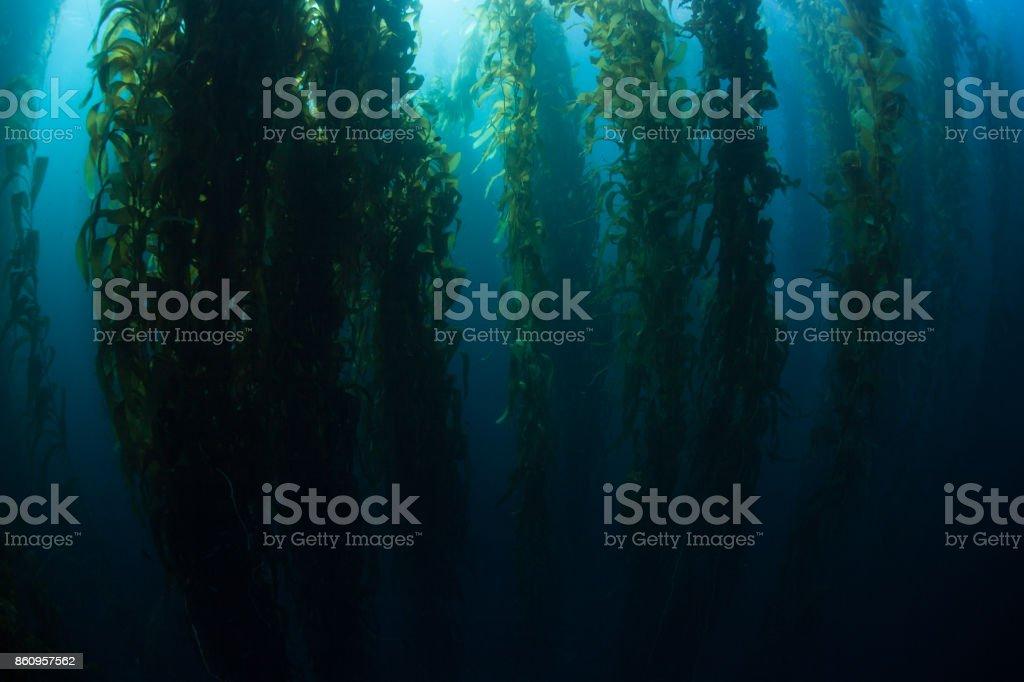 Dark Kelp Forest Underwater stock photo