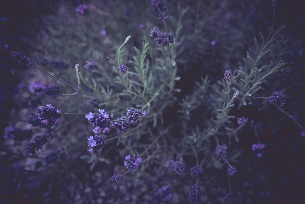 Dark Moody Lavender stock photo