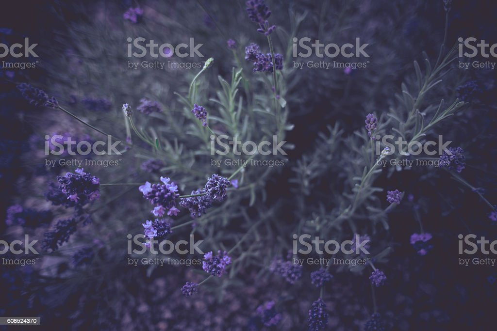Dark Moody Lavender stock photo