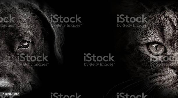 Dark muzzle labrador dog and cat scottish picture id510843182?b=1&k=6&m=510843182&s=612x612&h=4ixe8obelvzncqfz7m37kcssncjtcfht7aud b7rzze=