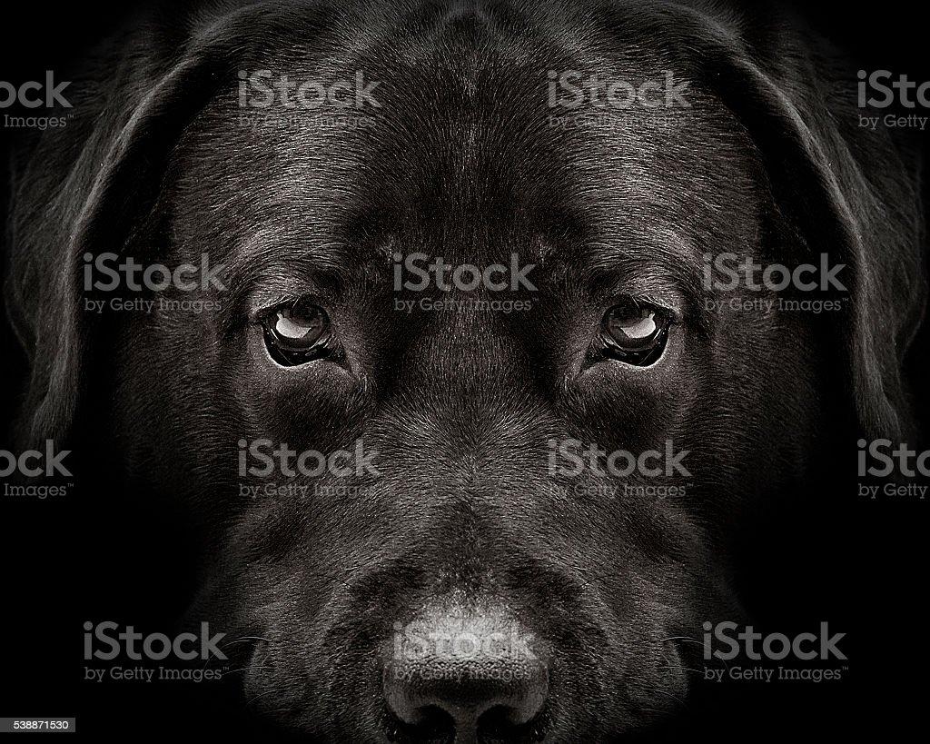 dark muzzle labrador dog closeup. front view stock photo