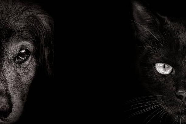 dunkle schnauze spaniel hund und katze nahaufnahme. vorderansicht - hundeaugen stock-fotos und bilder
