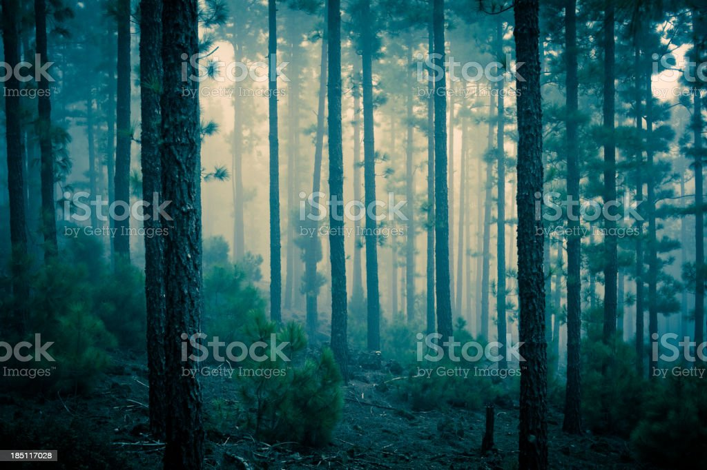 Dark Mystery Forest in the Fog stock photo