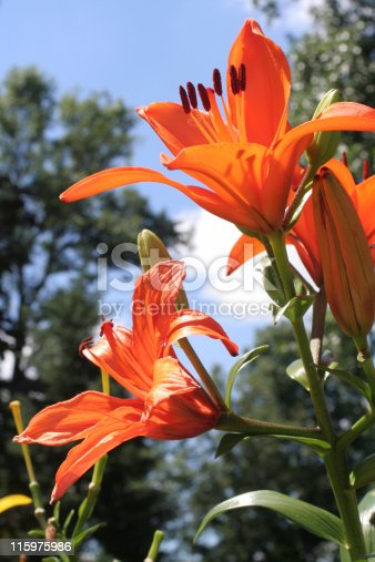 Two orange day lillies against a blue sky.