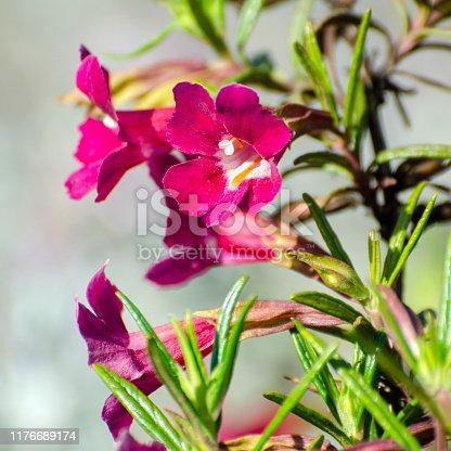 Close up of dark pink bush monkey flower, Diplacus aurantiacus, cultivar.