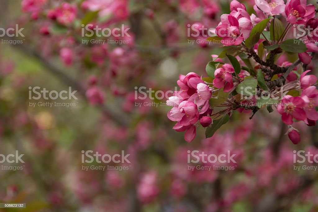 Dark pink crab apple blossoms on tree with defocussed background. stock photo