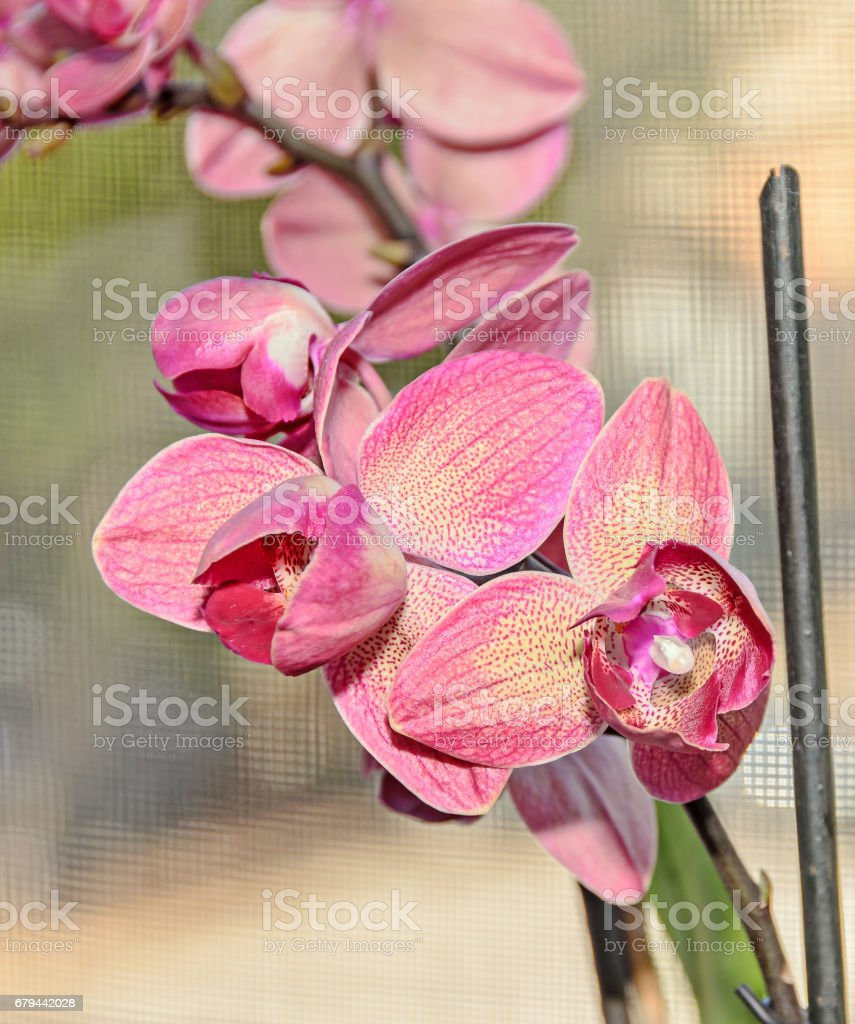 Dark pink orchid close up branch flowers, isolated on bokeh background foto de stock royalty-free