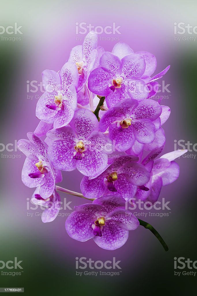dark pink orchid flowers royalty-free stock photo