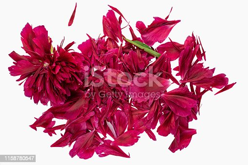 Studio shot of a dark pink peony flower head torn apart on a white background.  Peony Flower meaning: Romance, prosperity, good fortune, a happy marriage, riches, honor, compassion, and bashfulness.   Image easy to edit, cut out and change background.