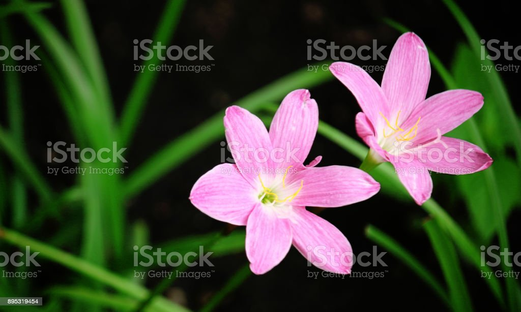 Dark Pink Raindrops flower stock photo